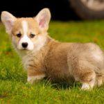 Кировчанка подозревается в 16 эпизодах продажи несуществующих щенков