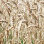 Малмыжское предприятие реализовало 628 тонн зерна без деклараций о соответствии требованиям техрегламента