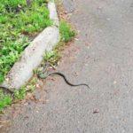 В Кирове обнаружили змею у детской площадки