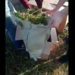 В Белохолуницком районе мужчина выращивал в поленаркосодержащие растения