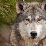 В Кировской области волк напал на домашних животных