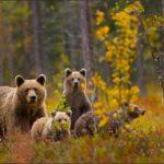 В Кировской области в объектив фотоловушки попала медведица с медвежатами