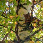 В Кировской области обнаружили рысенка на дереве