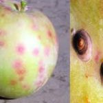 В Кировскую область завезли и допустили к реализации свыше трех тонн заражённых фруктов
