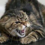 В Кировской области обнаружили бешенство у домашней кошки