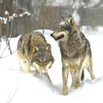 В одном из поселков Кировской области за вечер волки загрызли трех собак