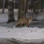В Кирове ночью на улице заметили лису