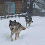 В Кировской области волки начали приходить за едой в поселки