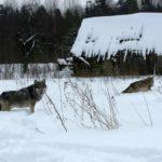 В Кировской области волки снова съели сторожевую собаку