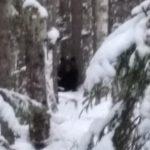 В Кировской области из-за теплой погоды проснулись медведи