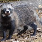 В Кировской области выявлен вирус бешенства у енотовидной собаки