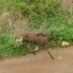 В Кирове по улицам бегал лось