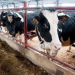 В Вятскополянском районе отменён карантин по сальмонеллезу крупного рогатого скота