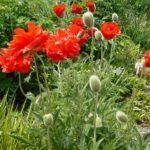 До 8 лет лишения свободы грозит жителям Котельничского и Уржумского районов за выращивание мака