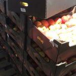 В Кировской области уничтожено более тонны яблок и груш из Молдавии