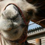 В Кирове продают верблюда за 200 тысяч рублей